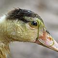 Duck 11 by Kristopher Bedgood