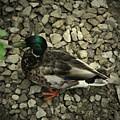 Duck by Amanda Kessel