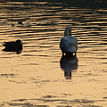 Duck And Swan At Sunrise by Phil Perkins