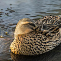 Duck At Rest by Teresa Blanton