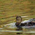 Duck Dip by Karol Livote