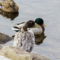 Duck, Duck by Barbara Blanchard