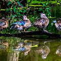Duck Duck Duck Duck by Alicia Collins