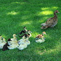 Duck Family by Sabina Thomas