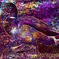 Duck Mallard Anatidae Duck Bird  by PixBreak Art