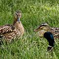 Duck Meeting At Frankenmuth by LeeAnn McLaneGoetz McLaneGoetzStudioLLCcom