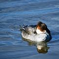 Duck On Blue by Alan Pickersgill