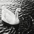 Duck On The Black Sea by Biz Bzar