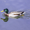 Duck On The Move by Allen Nice-Webb