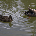 Duck Pair by Sally Weigand