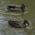 Duck Pair Swimming by Sally Weigand