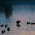 Duck Show Off by Douglas Barnett