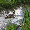 Duck Swimming In Stream by Melissa Parks