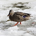 Duck Walking On Thin Ice by Carol Groenen