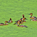 Duck Weed Club by Spade Photo