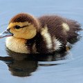 Duckling by Jeannie Burleson
