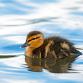 Duckling by Randall Ingalls