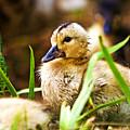 Duckling by Scott Pellegrin