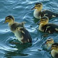 Ducklings by As the Dinosaur Flies Photography
