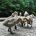 Ducklings by Bill Cannon
