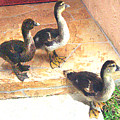 Ducklings Come To Visit by Merton Allen