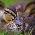 Ducklings Cuddling by Susan Candelario