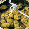 Ducklings In A Basket by Michele Burgess