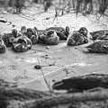 Ducklings Siblings - Grayscale by Brian Wallace