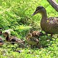 Ducklings Through The Ferns by Carol Groenen