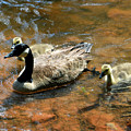 Duck Family by David Lee Thompson