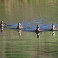 Ducks In A Row by Carol Groenen