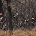 Ducks In Flight by Kevin Esterline