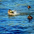 Ducks In Water by Terry Brackett