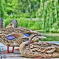 Ducks by Laurie Prentice