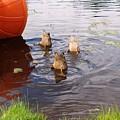 Ducks Mooning by Rita Tortorelli