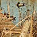 Ducks On A Pond by Hugh Carino