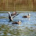 Ducks On Colorful Pond by Carol Groenen