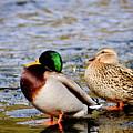 Ducks On Ice by Brenton Woodruff