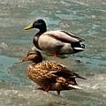 Ducks On Ice by Sergey Lukashin