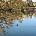 Ducks On Peaceful Autumn Pond by Carol Groenen