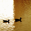 Ducks On Pond 2 by Steve Ohlsen