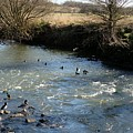 Ducks On The River In Early Spring by John Chatterley