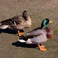 Ducks by Ralph  Perdomo