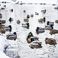 Ducks Swimming By Snowy Shore by Whitney Leigh Carlson