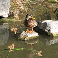 Ducky by Kathy Roncarati