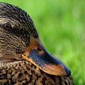 Ducky Up Close And Personal by Rebecca Morgan