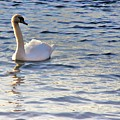 Duddingston Swan 1 by Nik Watt