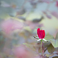 Duel Toned Ethereal Rose Bud by Linda Phelps