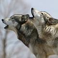 Duet Howl by Shari Jardina