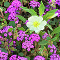 Dune Primrose Oenothera Deltoides And Purple Sand Verbena by Dave Welling